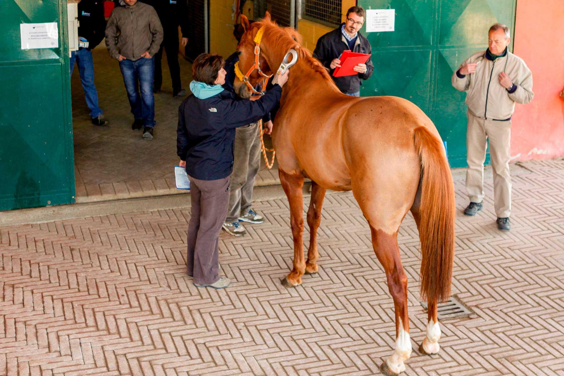 LE PRE-VISITE VETERINARIE - Si procede all'identificazione del cavallo mediante lettura elettronica del microchip applicato sotto alla criniera.